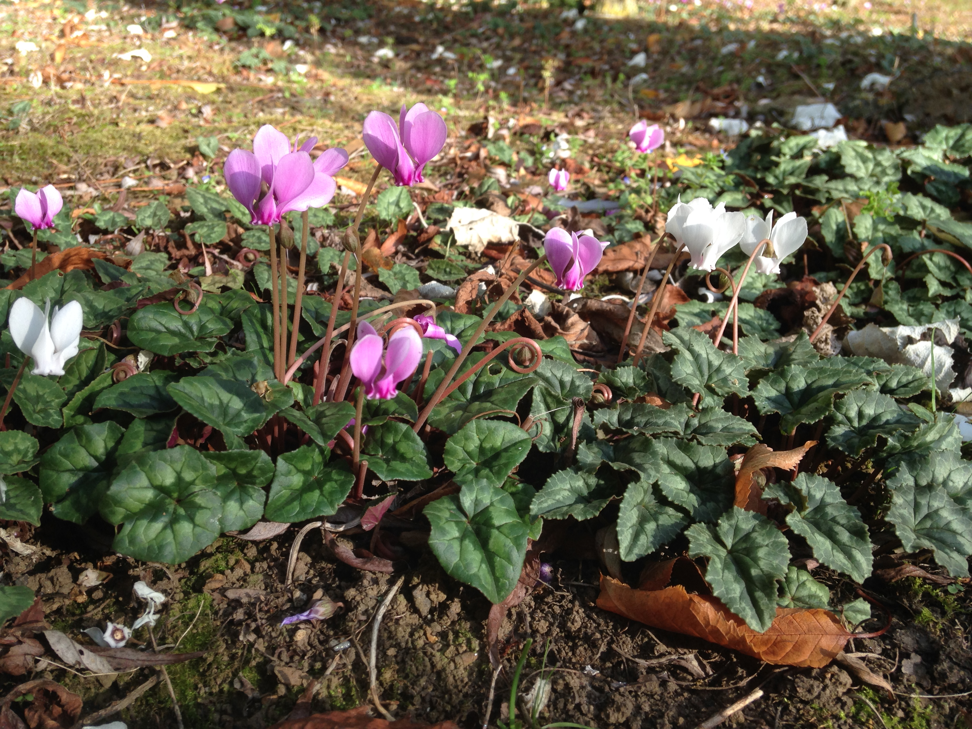 Pink and white flowered Cyclamen Hederifolium