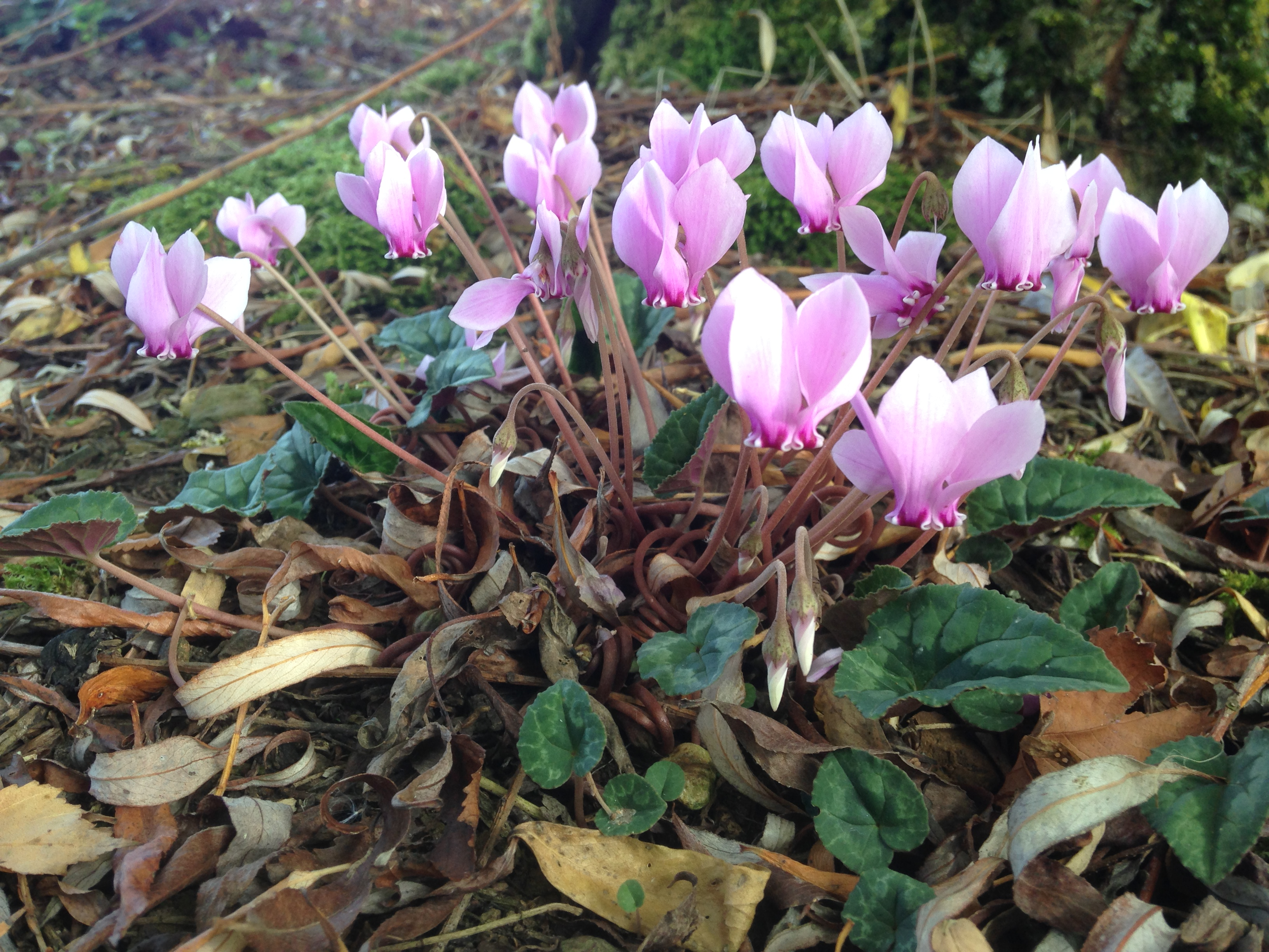 A naturalised pink flowered Cyclamen Hederifolium