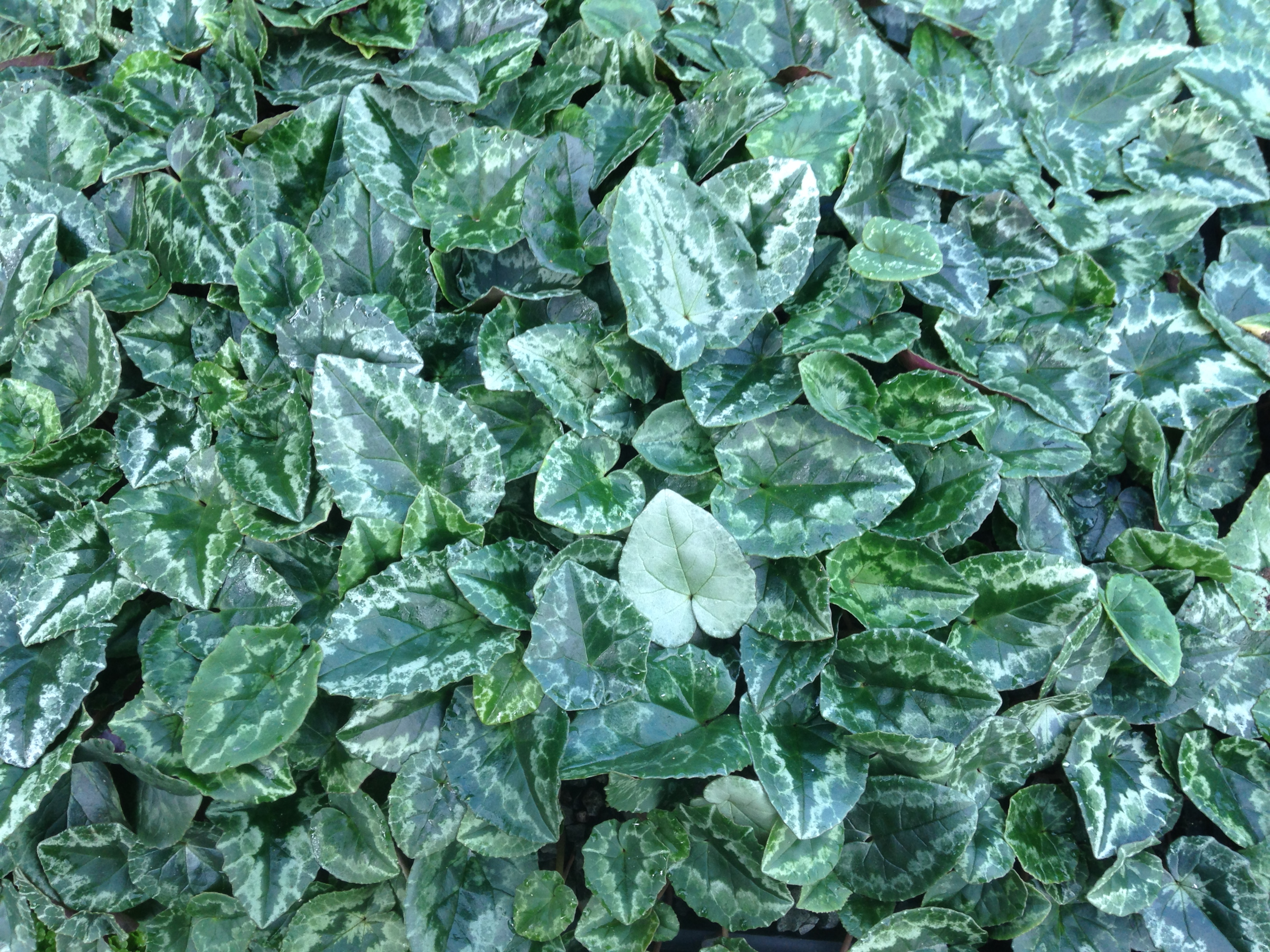 Cyclamen Hederifolium variegated ivy-shaped, grey-green marbled leaves
