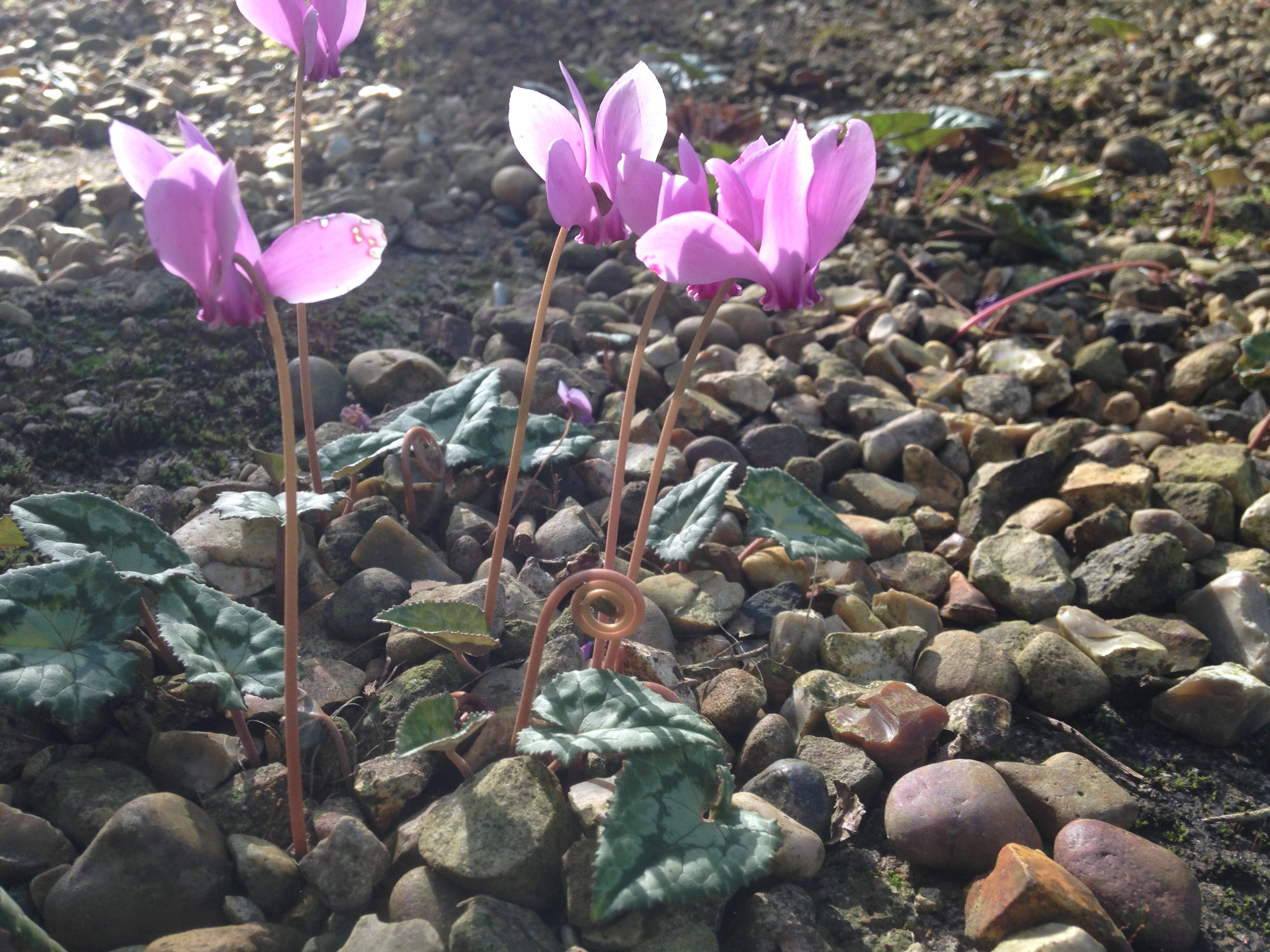 Cyclamen Hederifolium with set flower
