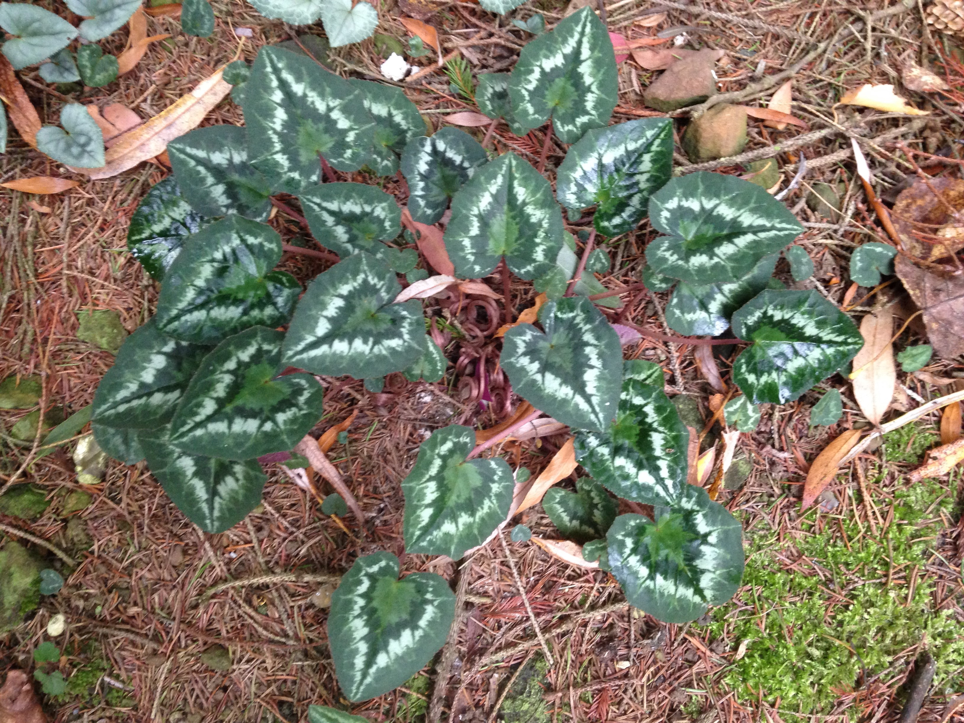 A naturalised Cyclamen Hederifolium at Willows Nursery showing the differing leaf patterns