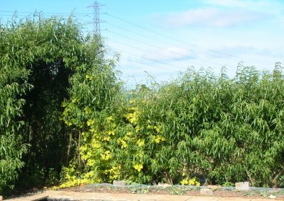 Our very first living willow dome/bower with a fedge adjoining it (and a golden hop growing through it).