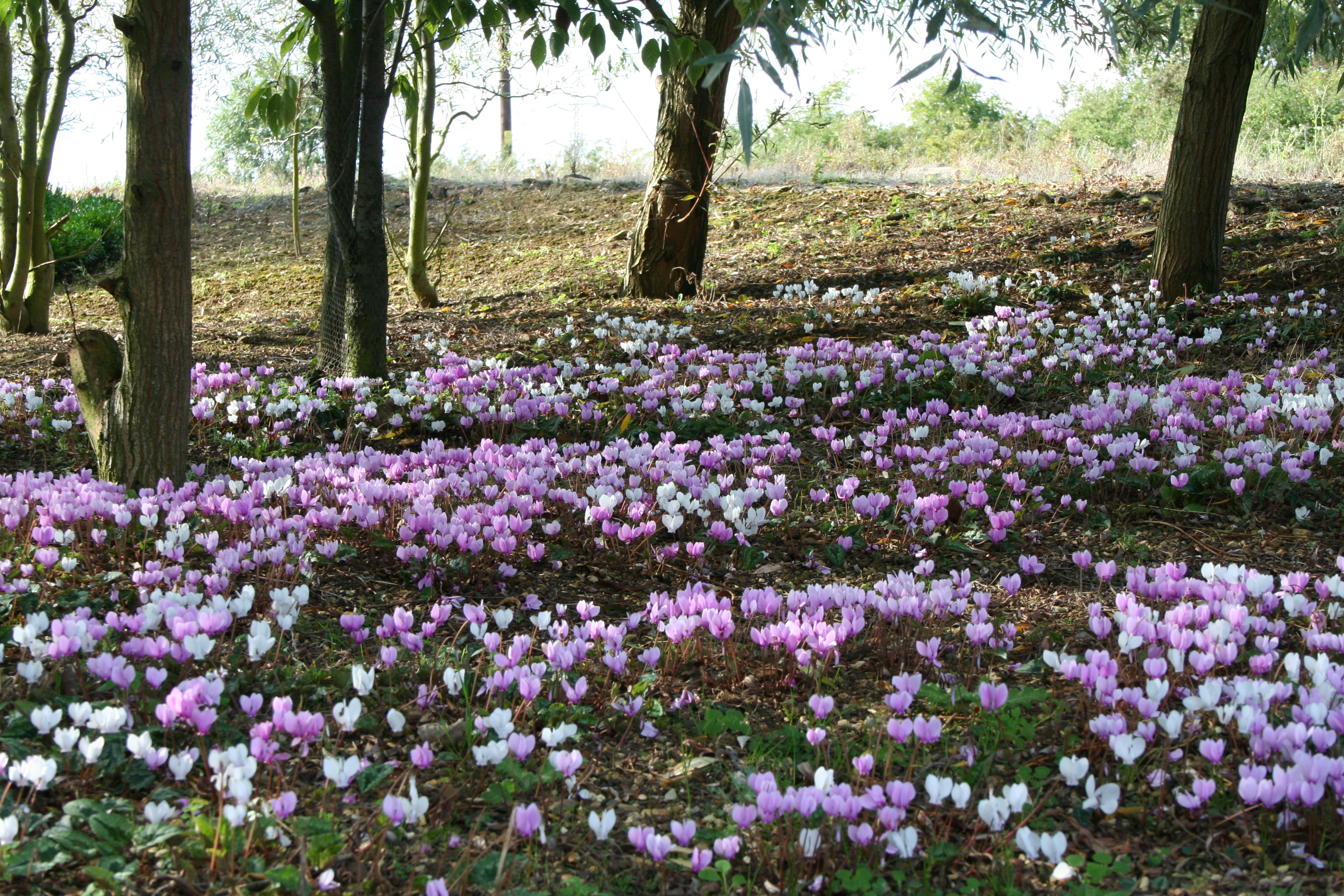 A 'drift' of pink and white flowered Cyclamen Hederifolium here at Willows Nursery in the autumn.
