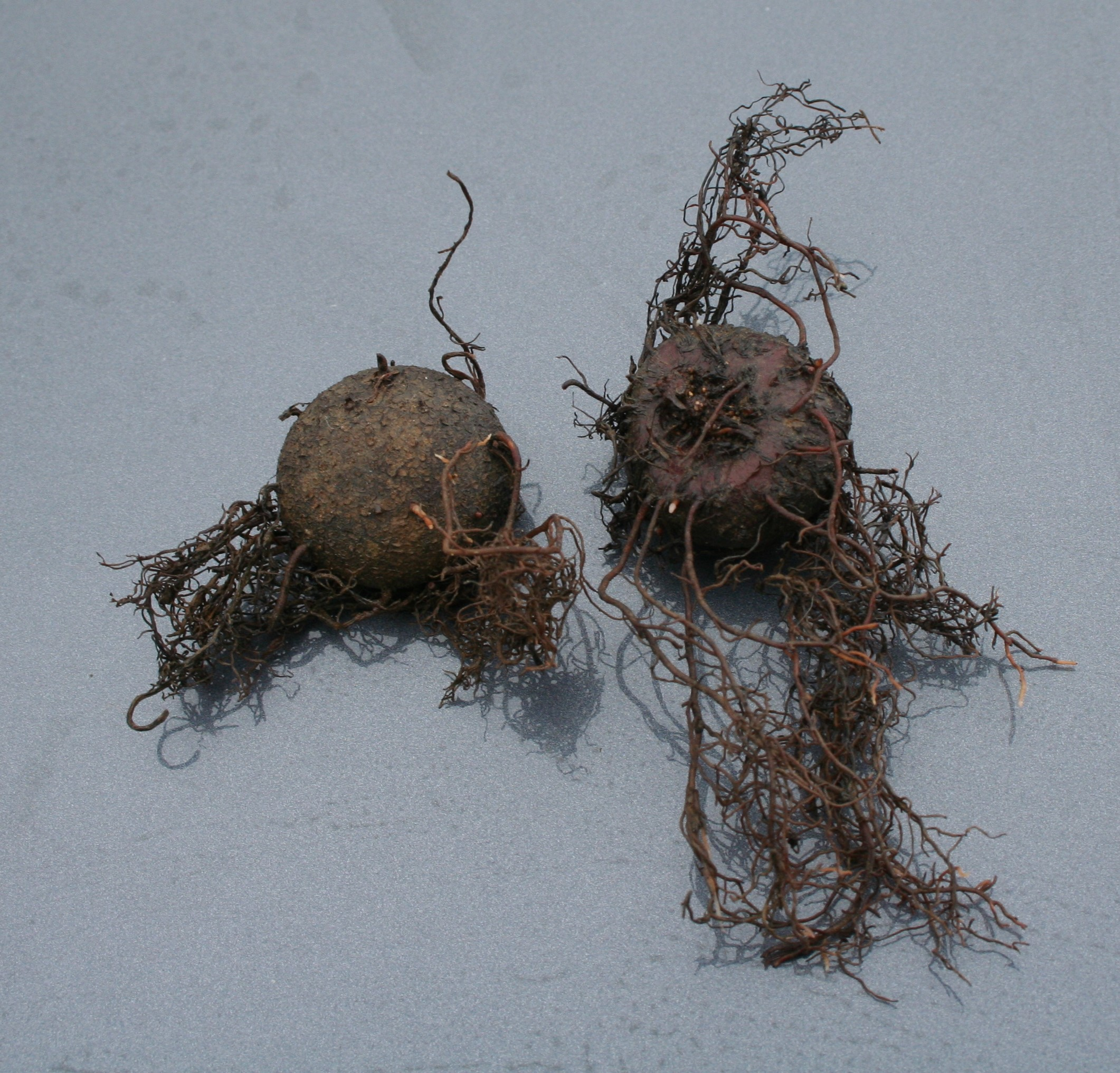 Dormant Cyclamen Hederifolium Corms