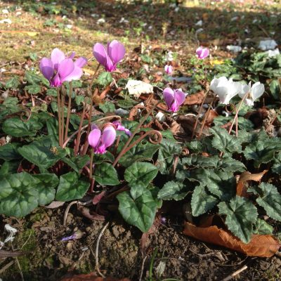 Cyclamen Hederifolium at Willows Nursery