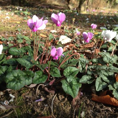 Cyclamen Hederifolium at Willows Nursery. Buy corms