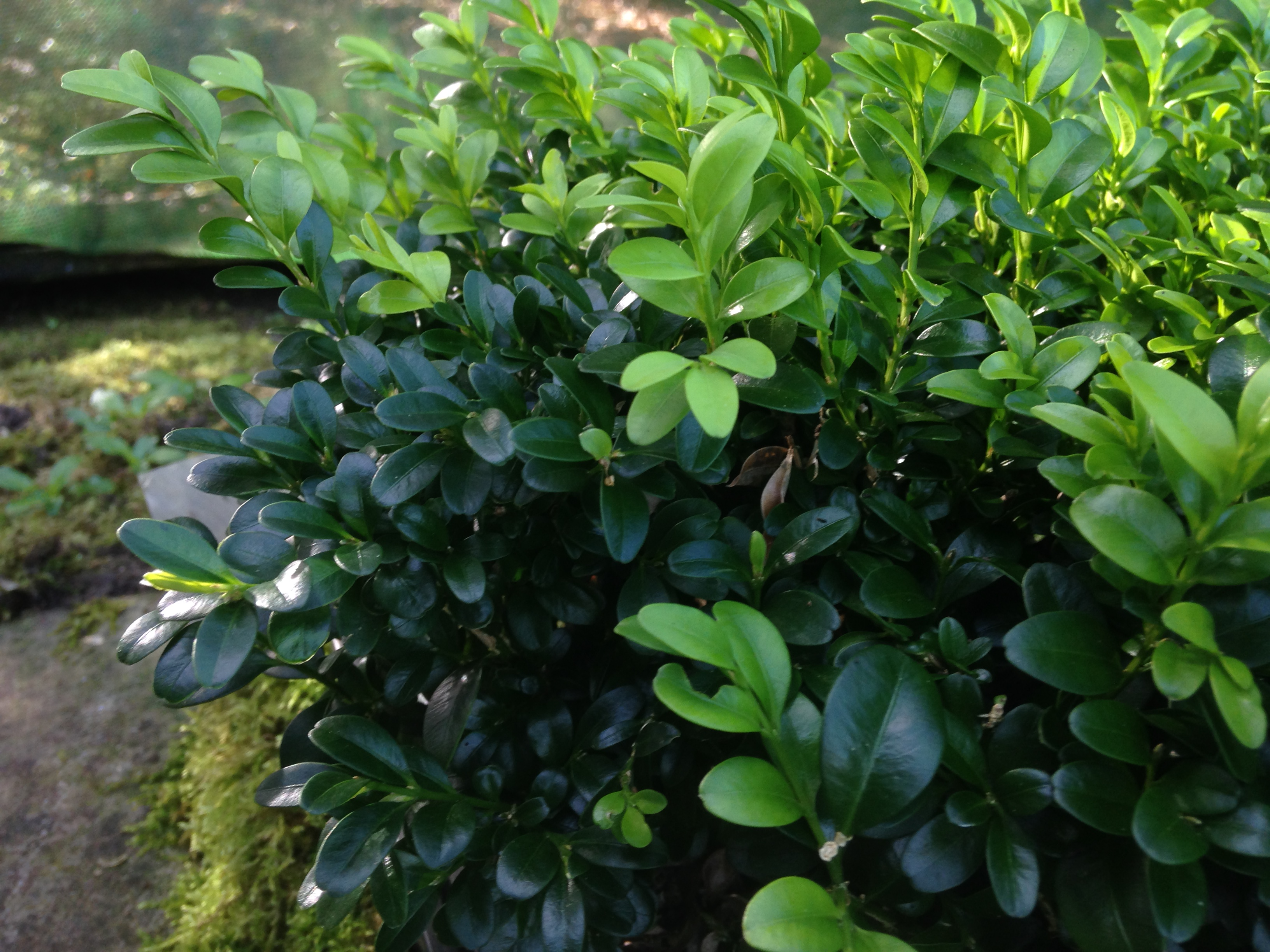 Dwarf Box plants for sale