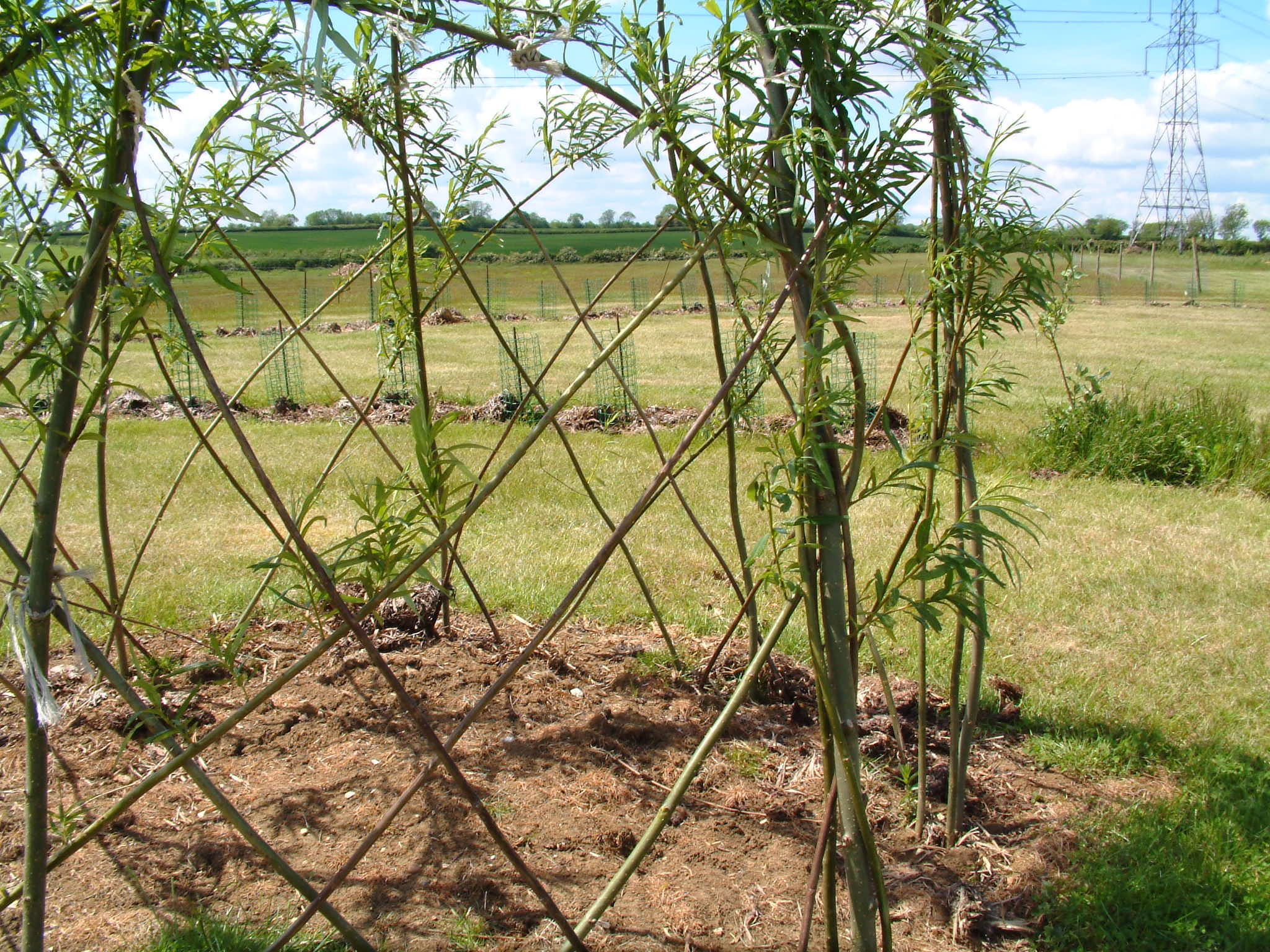 making a living willow structure