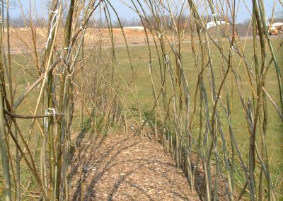 Buy. One of first living willow tunnels planted at the Nursery in 2001.