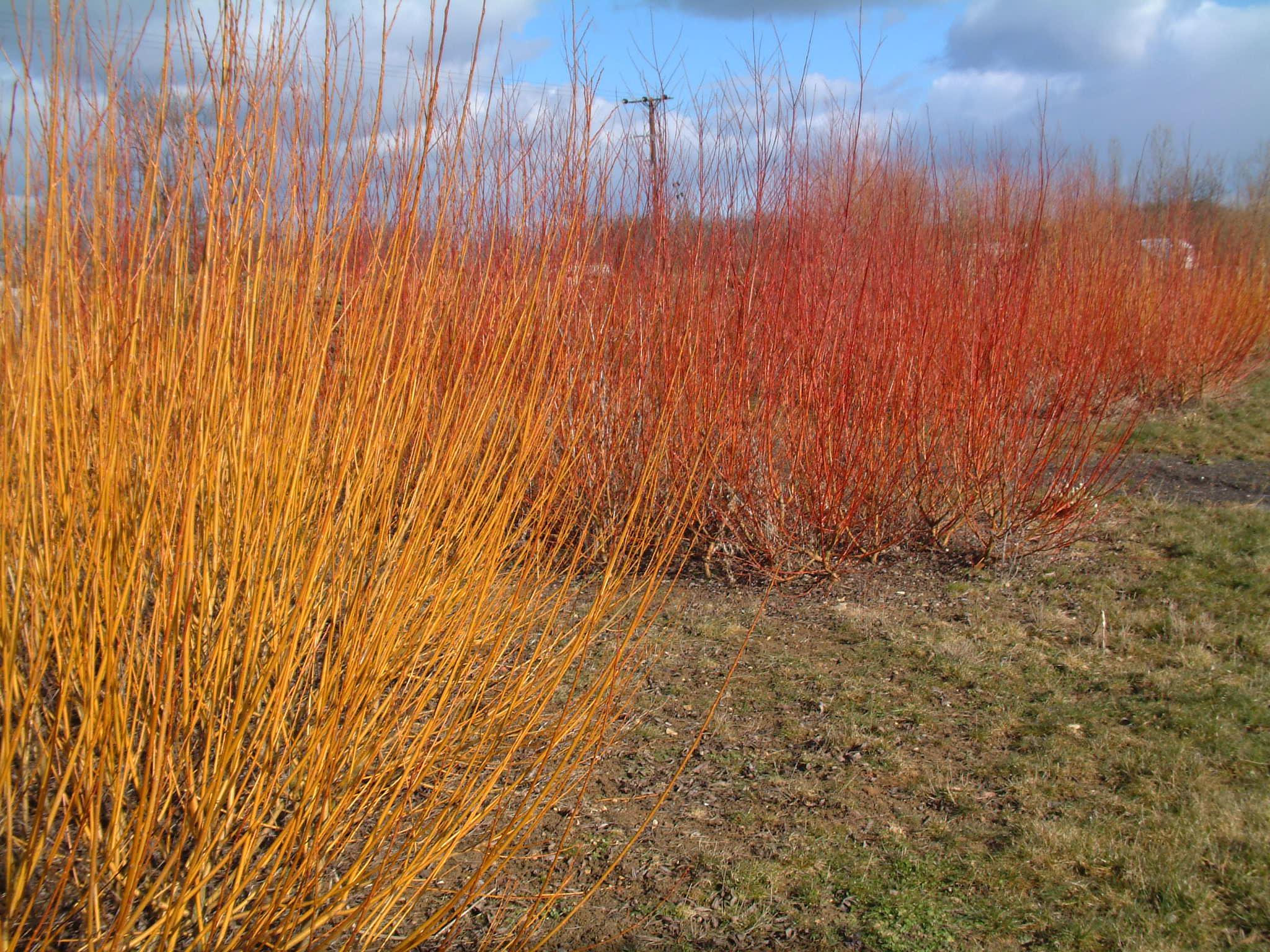 Salix Alba Vitellina and Salix alba Britzensis at Willows Nursery