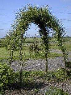 This is a simple living willow arch