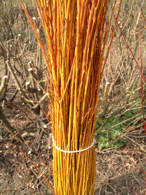 Salix Alba Vitellina (Golden Willow) W787