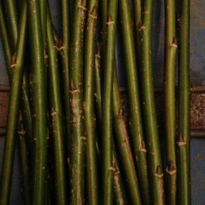 "Salix Triandra ""Petite Grisette"" - W780"