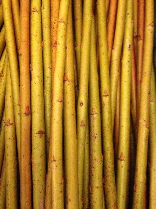 Salix Alba Vitellina (Golden Willow) - W787