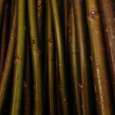 Salix Fragilis (Crack Willow) - W790