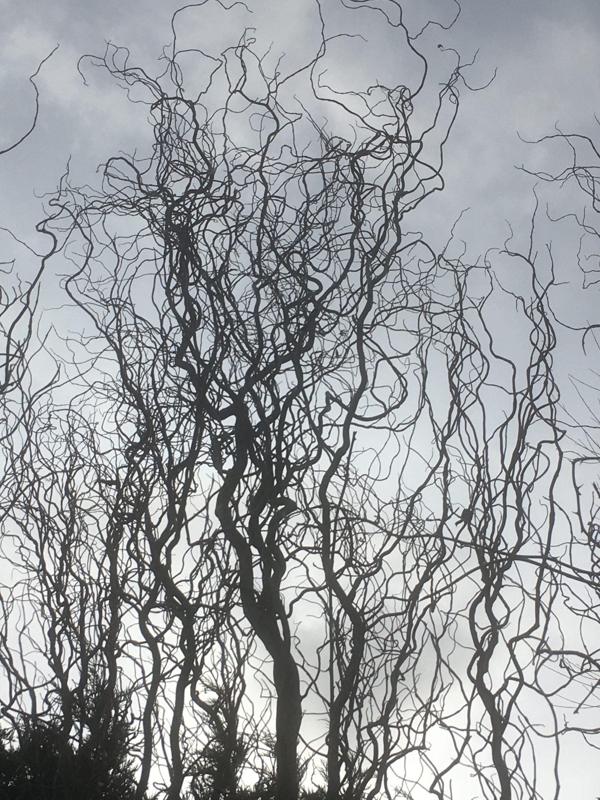 Salix Matsudana 'Tortuosa' (Corkscrew or Dragons Claw Willow)