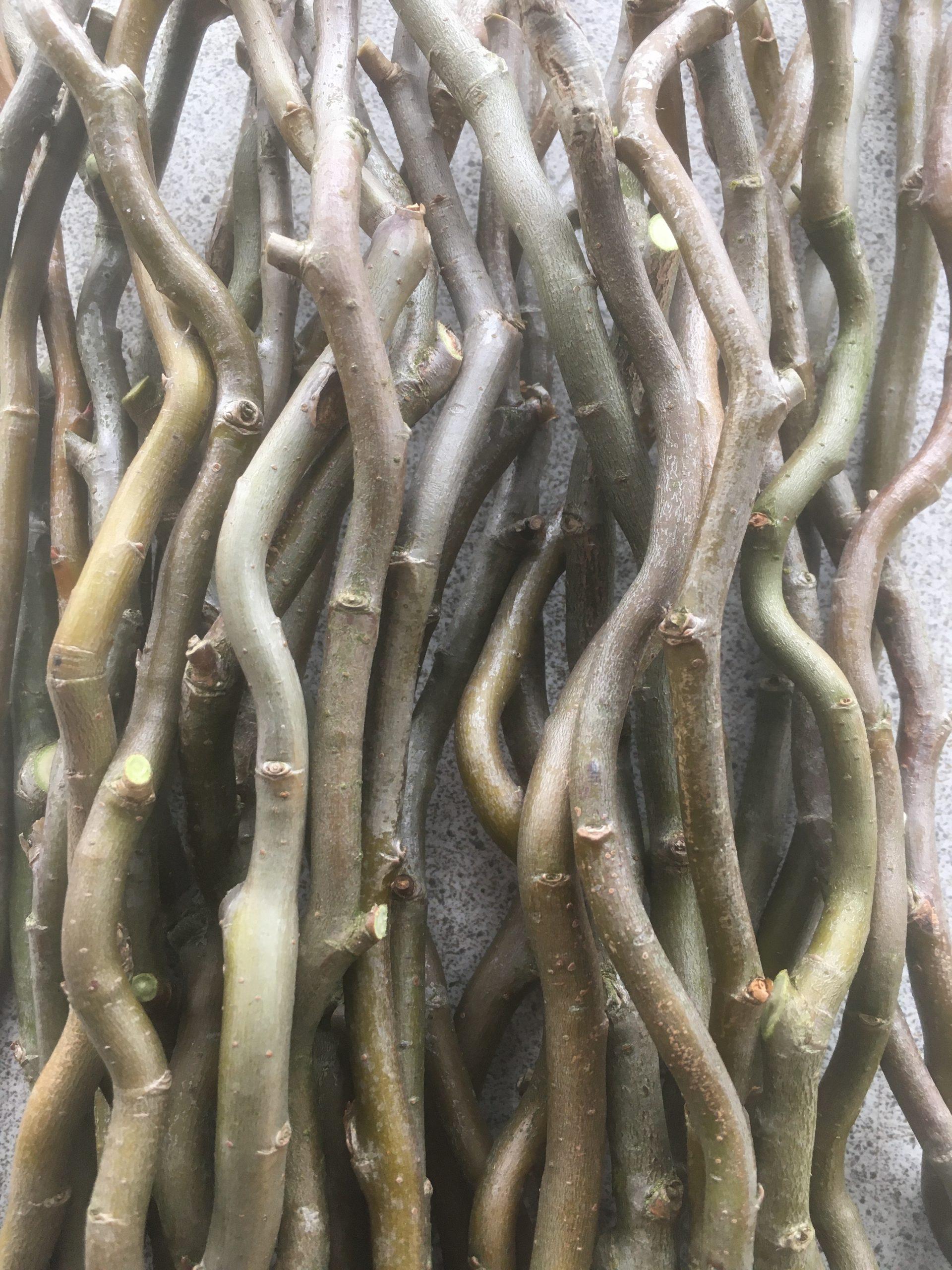 Salix Matsudana 'Tortuosa' (Corkscrew or Dragons Claw Willow) W785