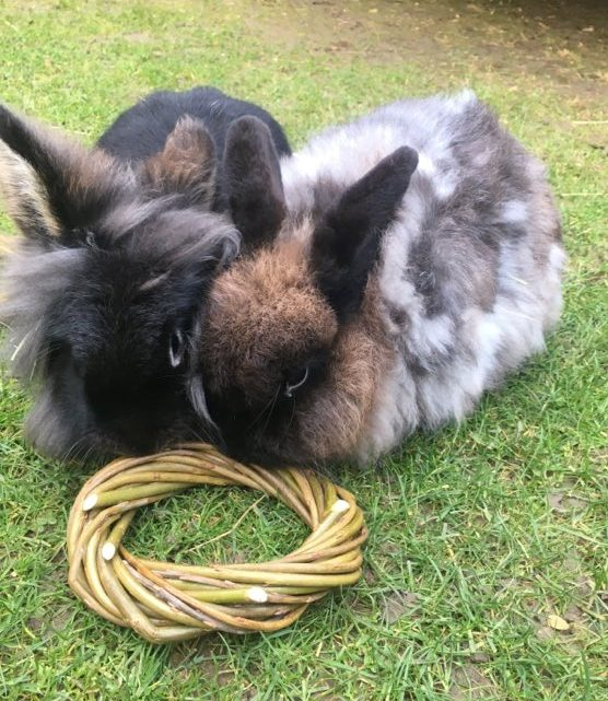 Two local pet rabbits testing a willow ring hoop from Willows Nursery