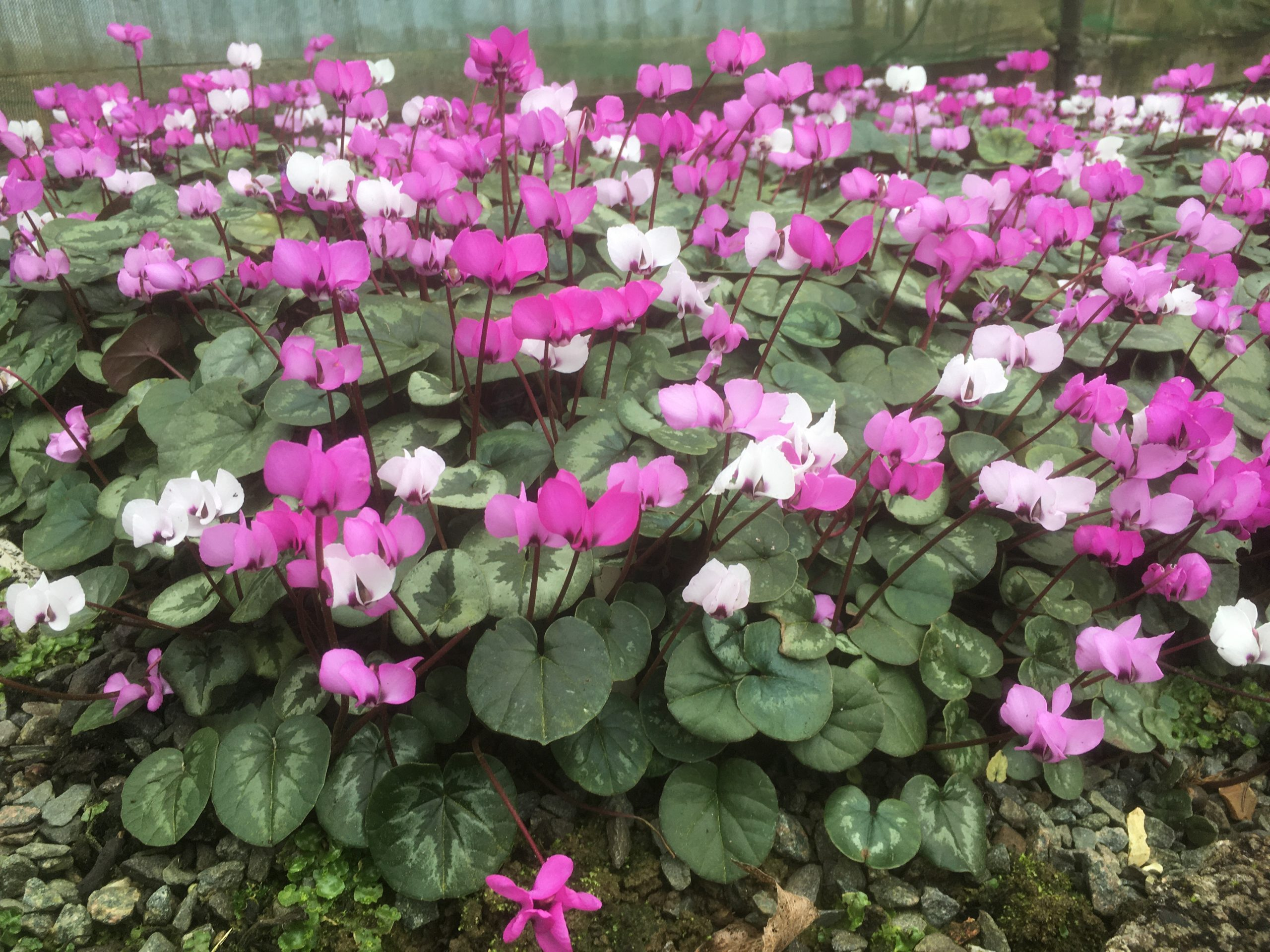 Cyclamen Coum from Willows Nursery