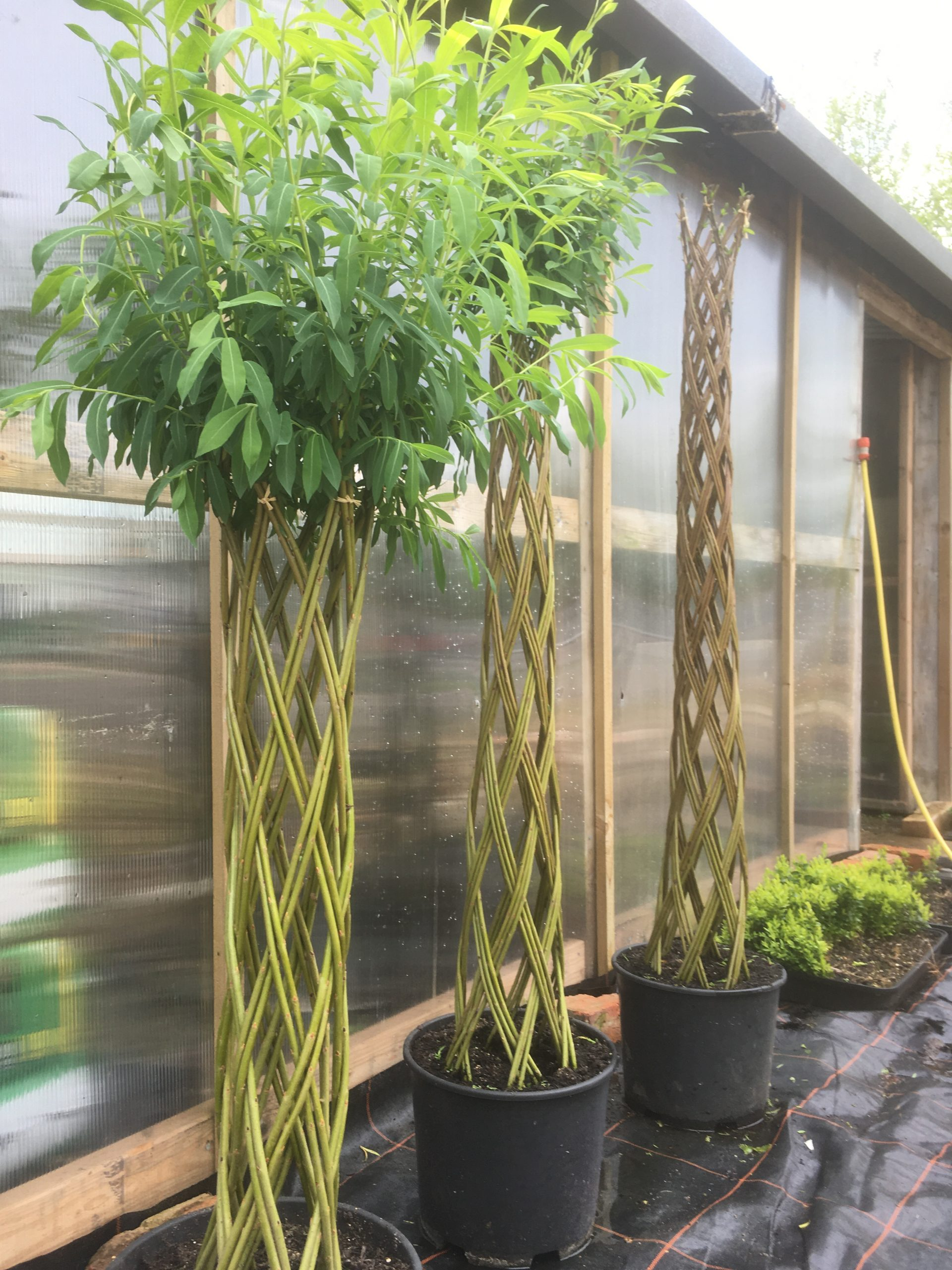 Braided Harlequin willow tree kit from Willows Nursery